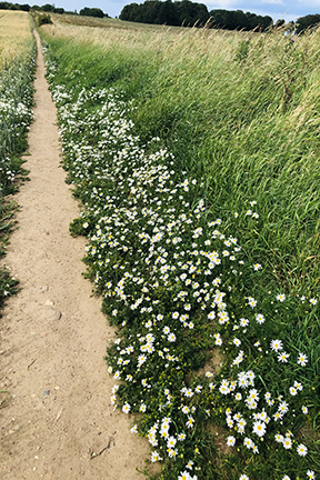 photo of daisies beside a path